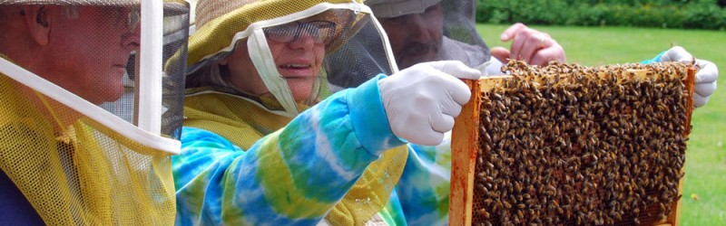 Beekeepers Examining Frame of Honey Bees