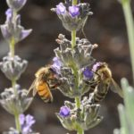 Italian and Carniolan honeybees on lavendar