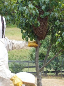 Bee swarm in a tree photo
