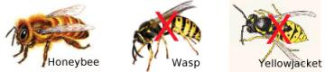 Honeybee Wasp Yellowjacket comparison