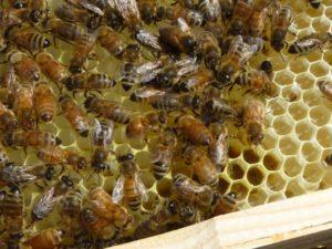 bees-new-comb-LNP1040159