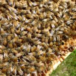 Honeybee Diseases and Pests