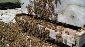 Bainbridge Island swarm
