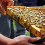 Frame of honeybees and hive tool
