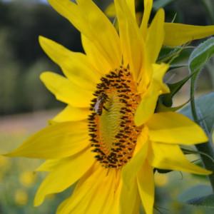 Sun_Flower_Honey_Bee